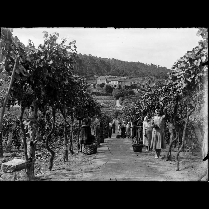 Vendimia (fuente: web del museo del vino)